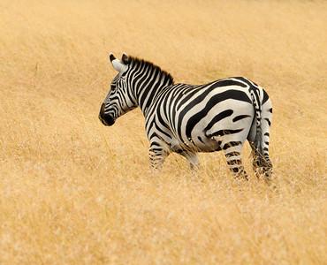 Zebra Africa 2008