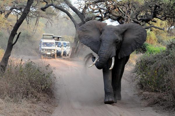 Elephant on road near Lake Manyara Tanzania